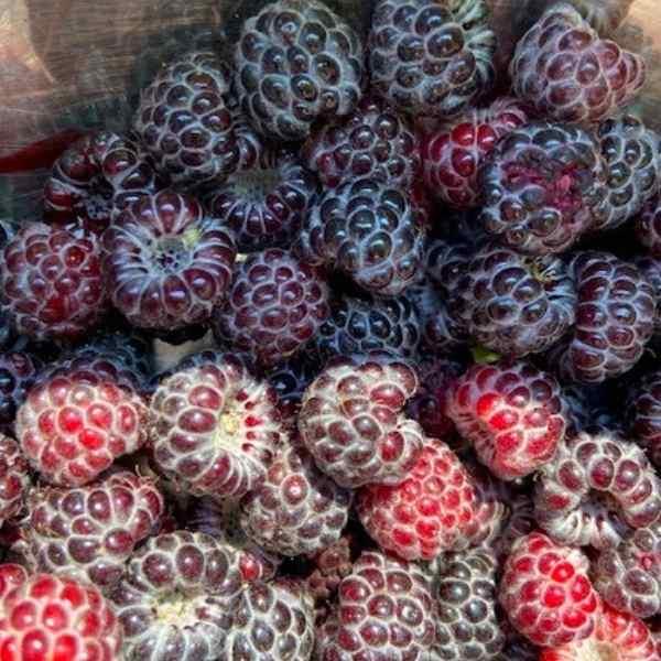 fresh black raspberries
