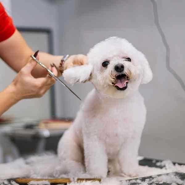 grooming a white dog