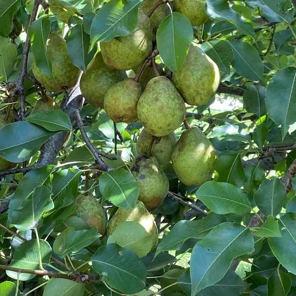 pears on a pear tree